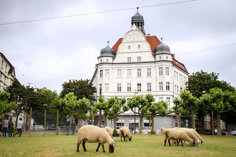Schafe auf dem Borsigplatz. Foto: Jullian Has